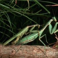 Why Does the Female Praying Mantis Eat the Male? – Cannibalism