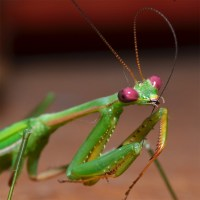 Is a Praying Mantis an Insect?