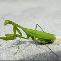 Do Praying Mantis Die After Laying Eggs?