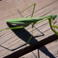Praying Mantis Meaning – What does it Mean to See a Praying Mantis?