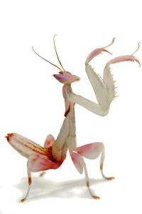 Orchid Mantis Lifespan : orchid, mantis, lifespan, Orchid, Mantis, Facts, Complete, Information, About, Praying