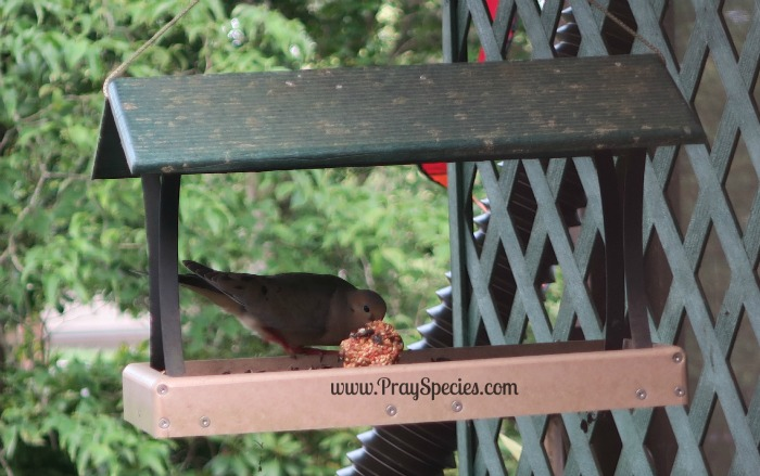 mourning dove visits our pine cone feeder we made last week