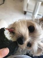 おにぎりを食べるポッキー