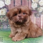 Precious Family Jewels Yorkshire Terrier And Shih Tzu Puppies For Sale In Virgini