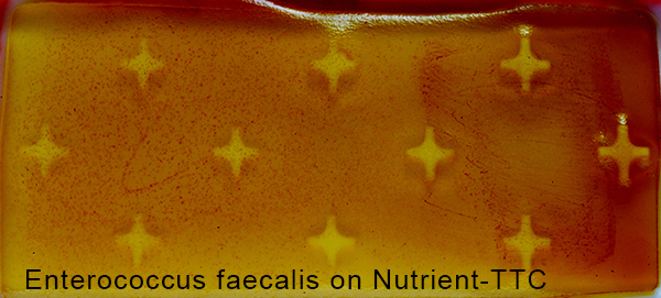 Enterococcus faecalis on Nutrient-TTC