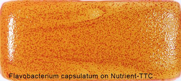 Flavobacterium capsulatum on Nutrient-TTC