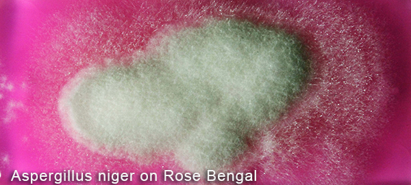 Aspergillus niger on Rose Bengal