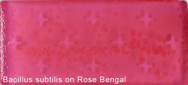 Bacillus subtilis on Rose Bengal