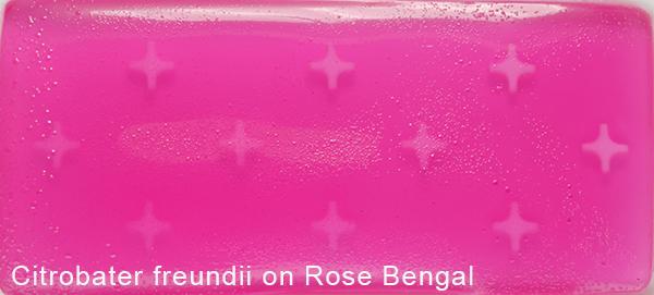 Citrobacter freundii on Rose Bengal