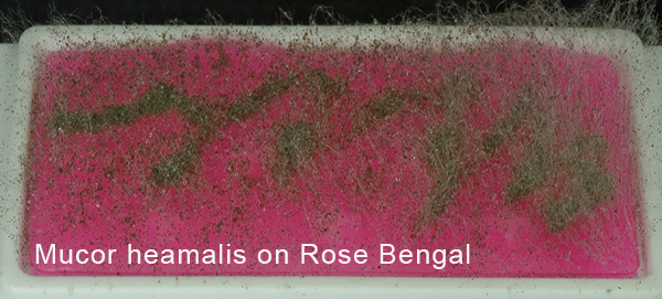 Mucor heamalis on Rose Bengal