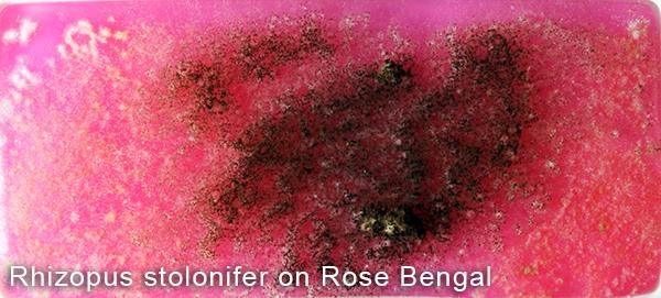 Rhizopus stolonifer on Rose Bengal