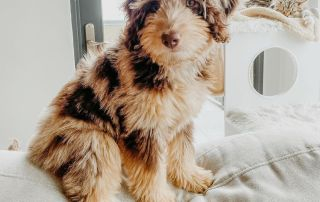 red merle aussiedoodle picture