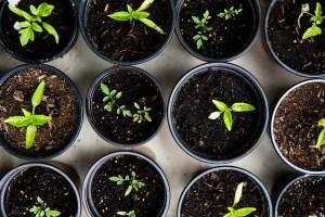 Green leafed seedlings on black plastic pots