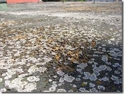 Depunerile crustelor de noroi si materialelor de origine biologica (frunze, crengile copacilor, etc.) faciliteaza depunerea si cresterea vegetatiei parazite pe hidroizolatii