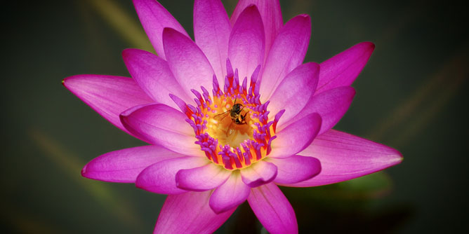 Bee-in-the-lotus