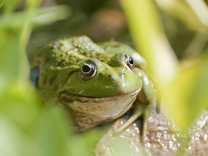 Frog-in-the-grass