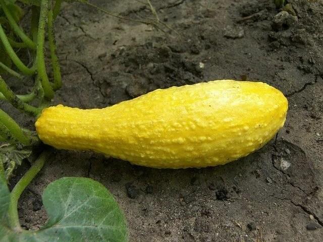 gardening yellow squash