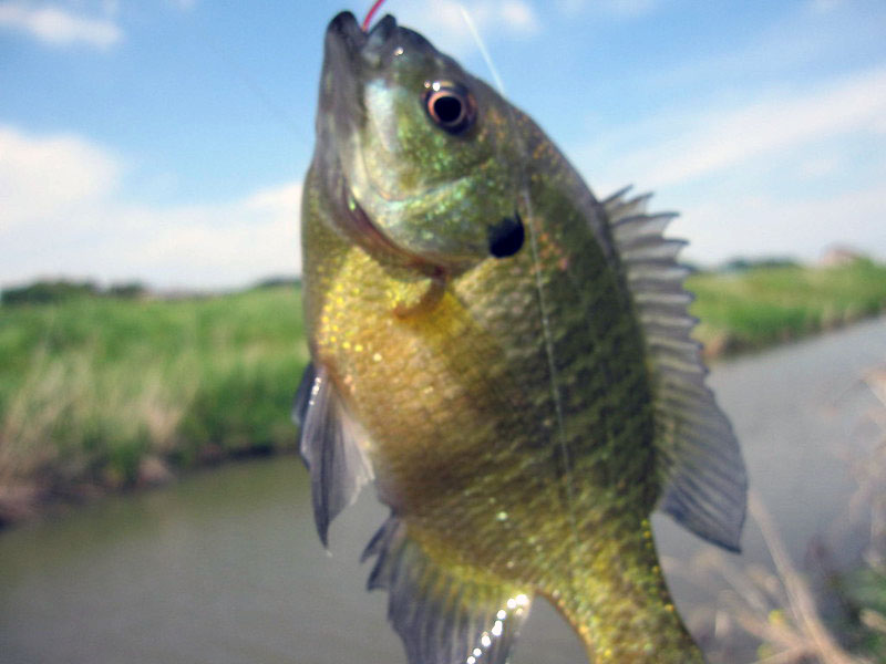 What is a Bluegill Fish