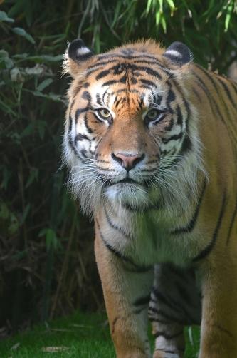 London Zoo Sumatran Tiger Enclosure- Zoological Society of London (ZSL)