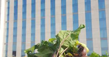 InterContinental London – The O2 Takes Local Food Sourcing to New Heights with Rooftop Kitchen Garden