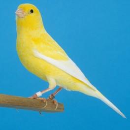 canari-varie-femelle