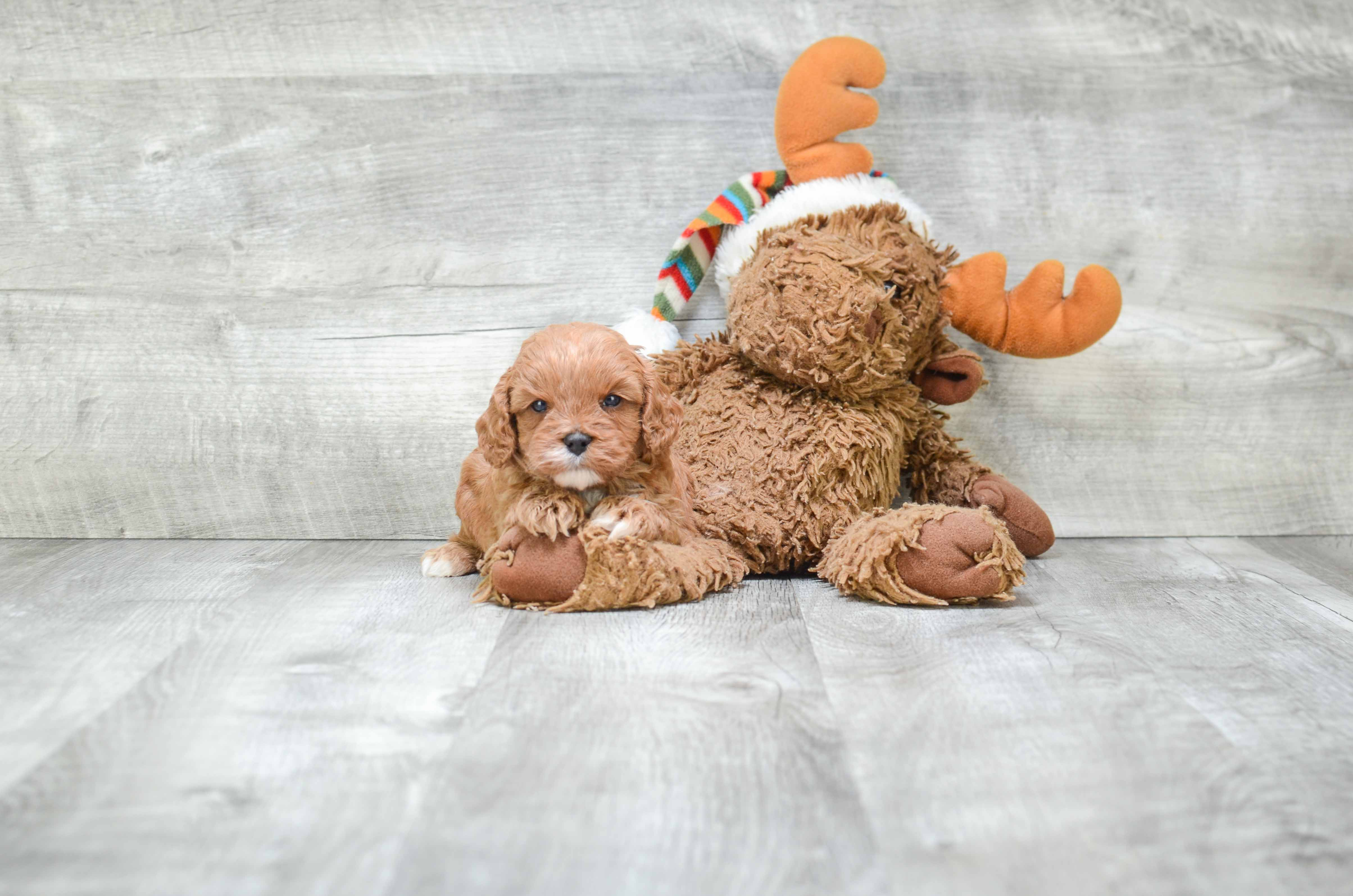 Cavapoo Puppies for Sale  US Shipping  Premierpupscom