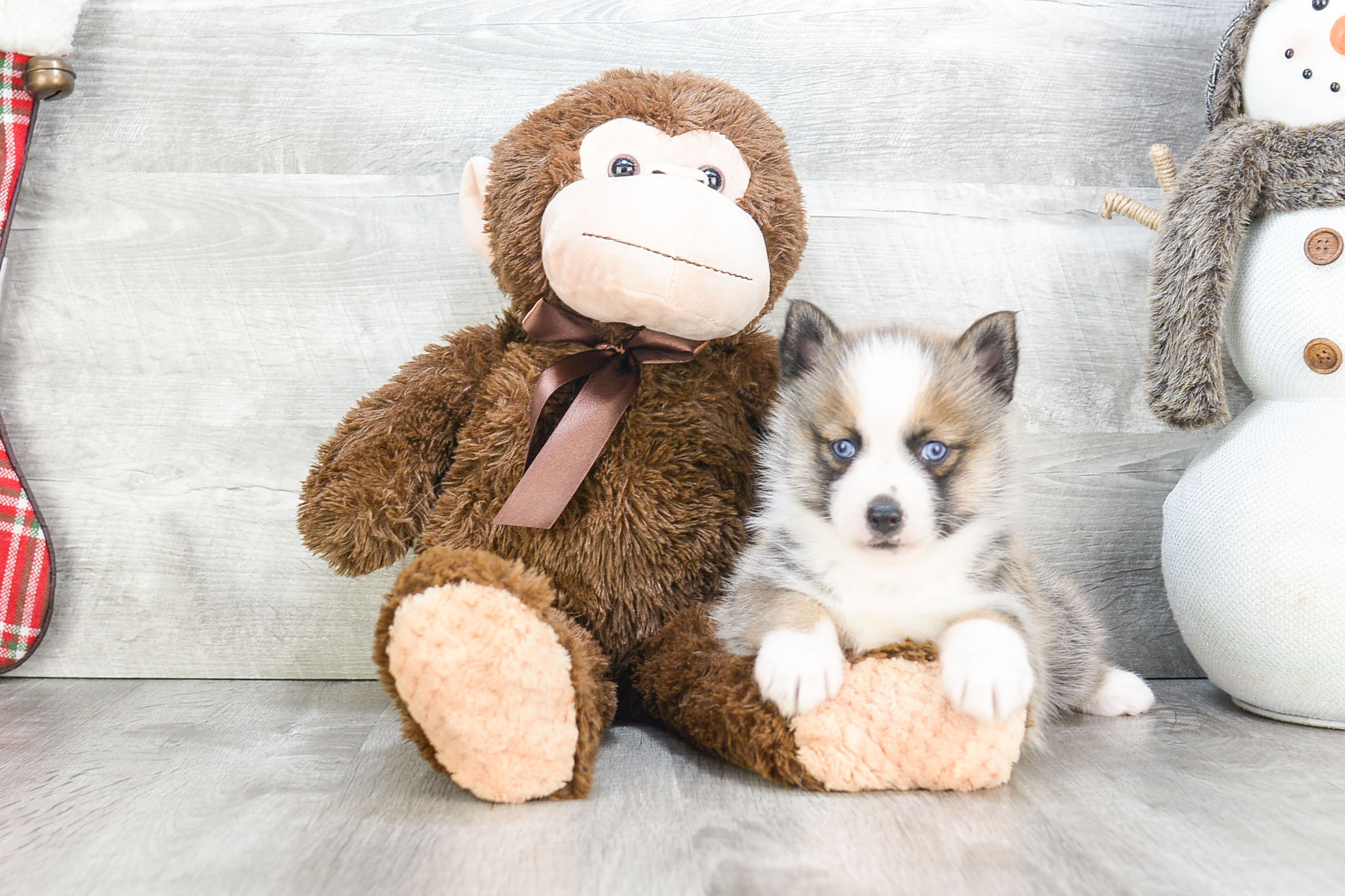 Pomsky puppies for sale  Small cross puppies breeds for