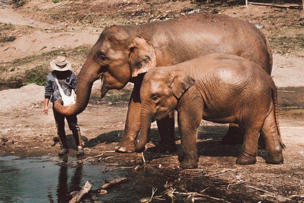 Asian Elephants in Vietnam