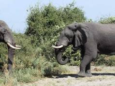 Dutch and Belgian tourists taking pictures trampled by elephant in Zambia