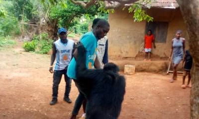 Chimpanzee follows farmer home in Cross River