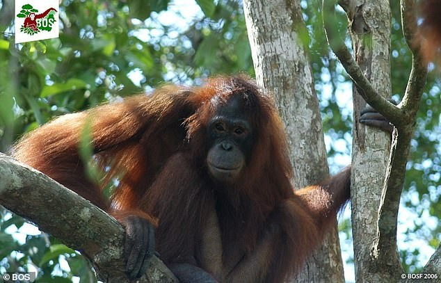 Photos of the orangutan that was forced to become a sex slave and sleep with men on a daily basis