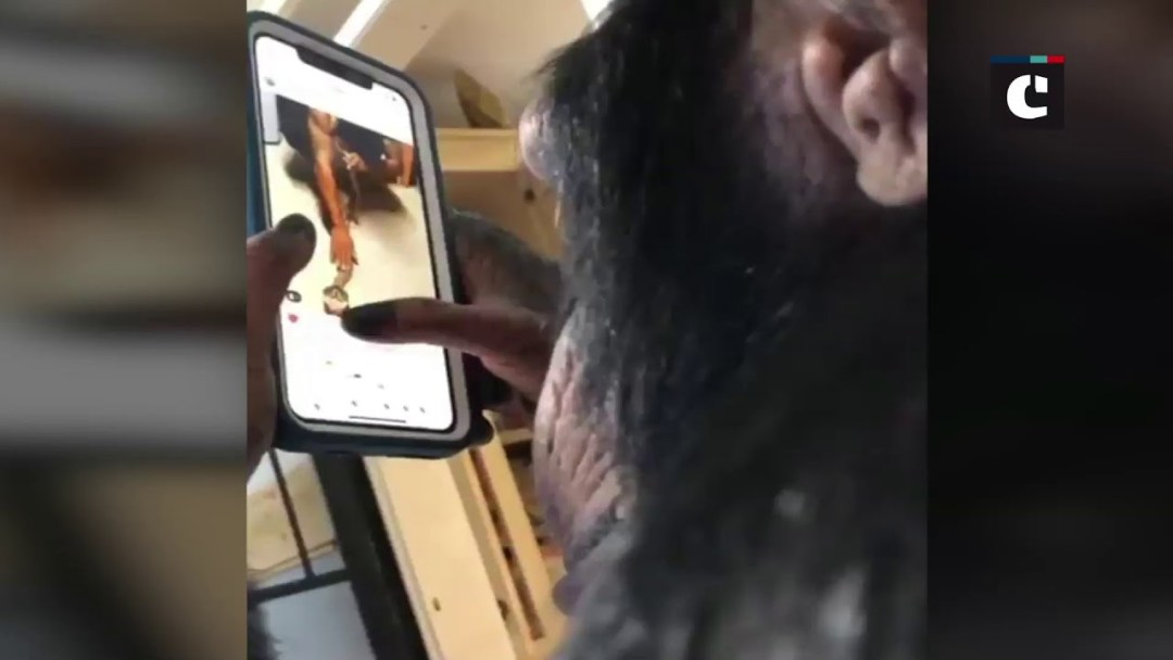 Video of chimpanzee using an iPhone to browse Instagram