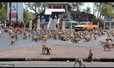 Community of monkeys invade Thai city in search of food