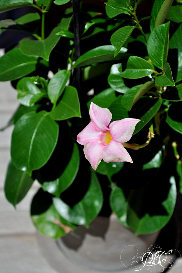 Prendre le temps - Nouvelle maison - Dipladénia - fleurs