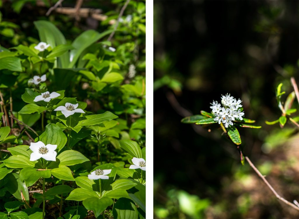 fleur aiguebelle