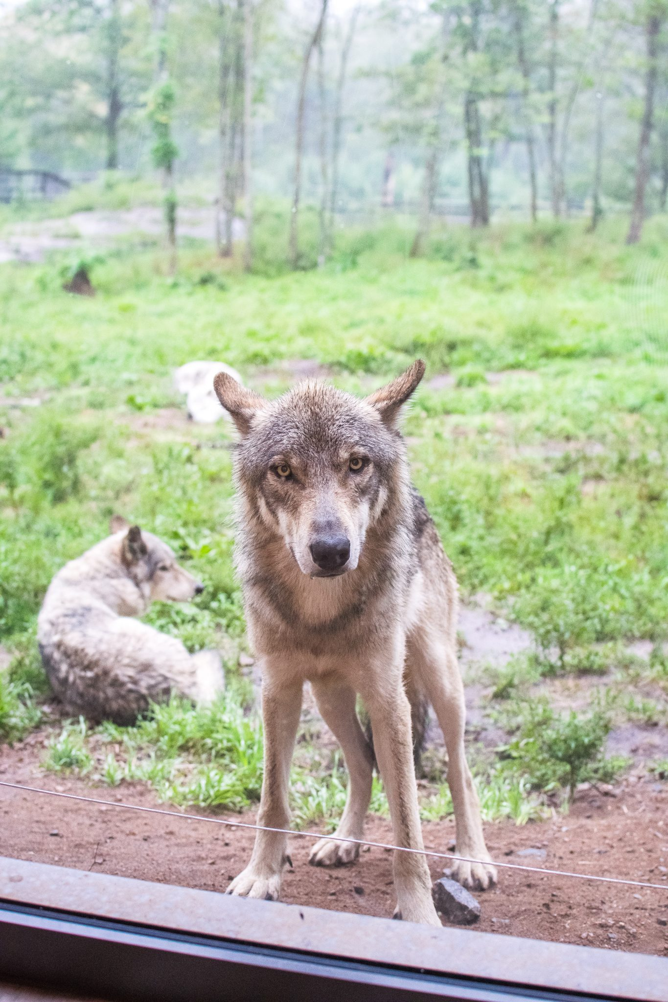 loups matin