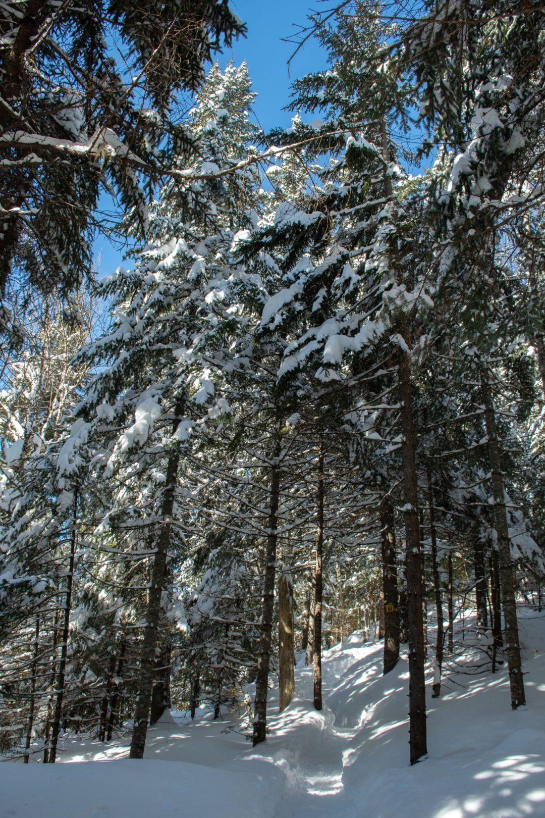 sentier loups hiver