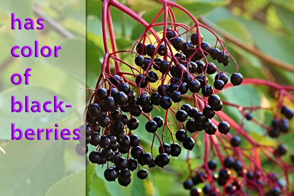 identify elderberry