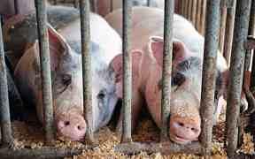 prolapse pigs