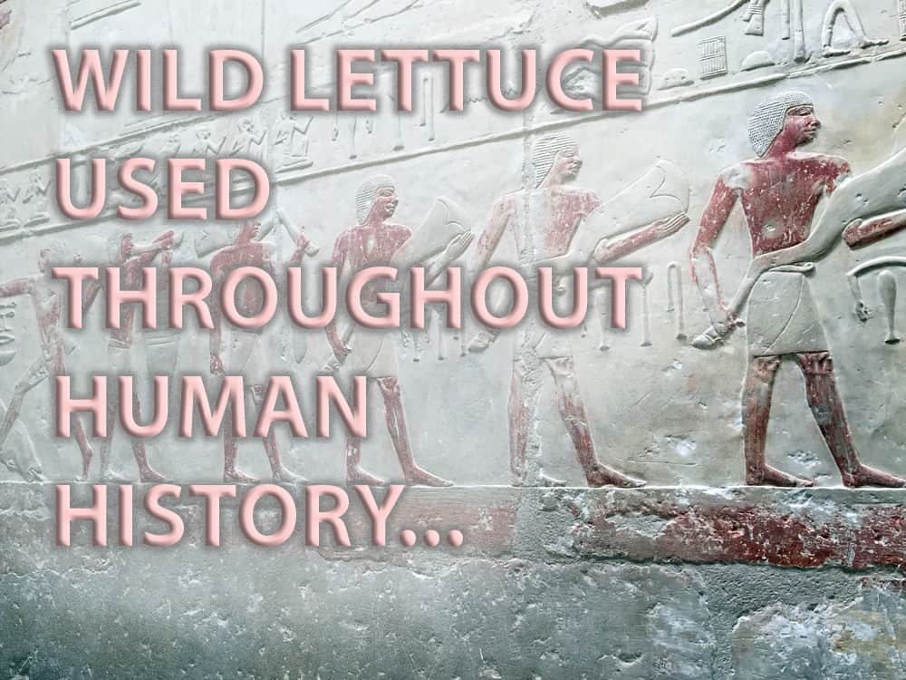 wild lettuce history