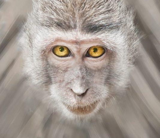 ja majmun