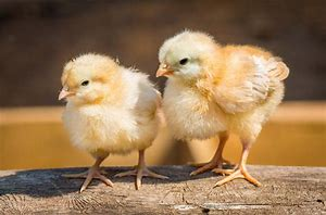 Everything You Need to Know About Raising Baby Chicks on a Budget