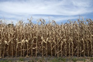Millions Of Acres Of Crops In The Central U.S. Have Been Destroyed By A Series Of Historic Natural Disasters