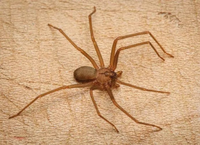 brown recluse coloring pages - photo#24