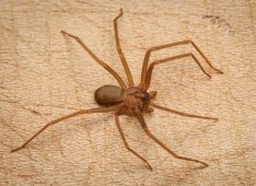 Preppers will - Brown Recluse Spider