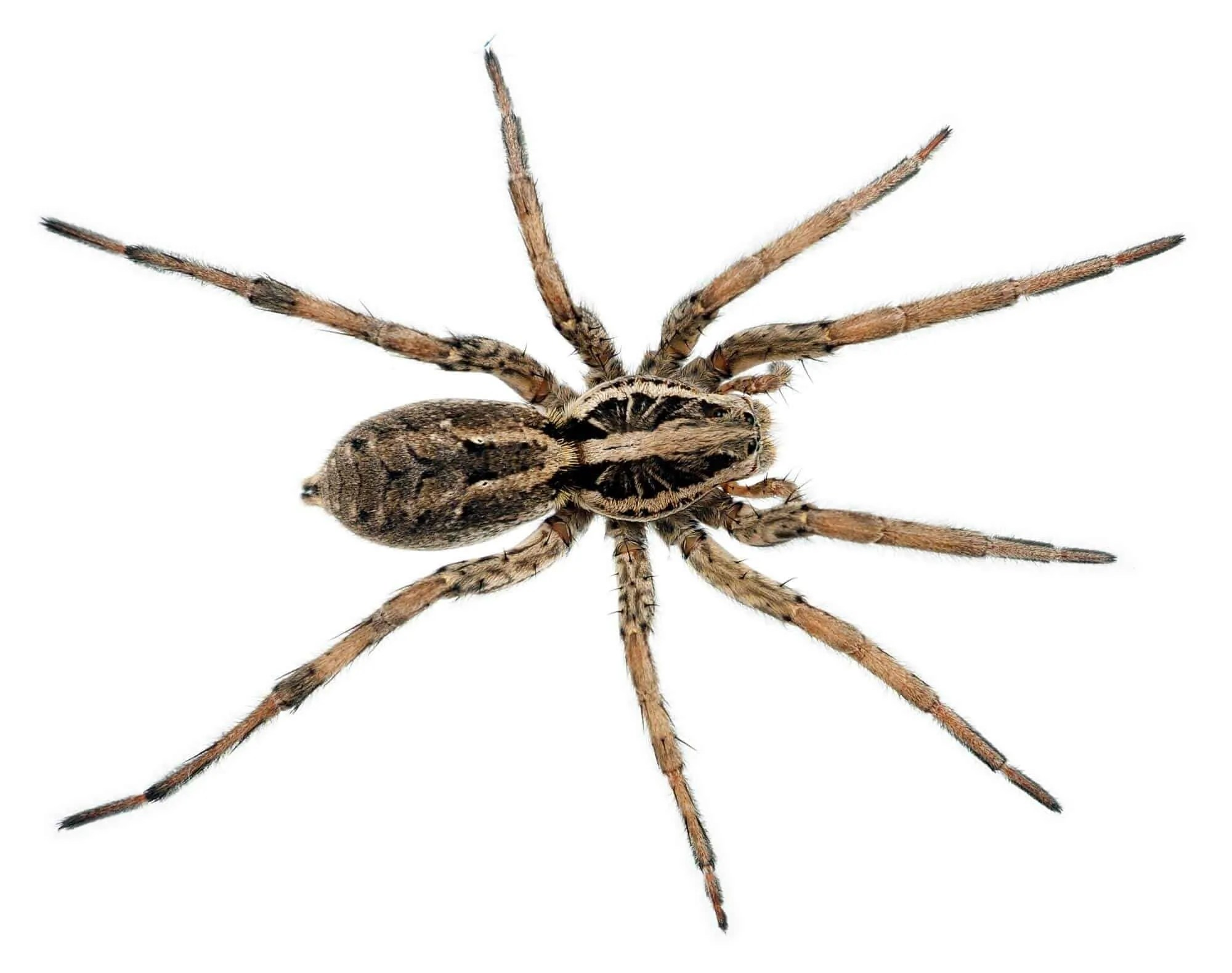 Spider Bite Guide  Know Your Spiders!  Prepper's Will
