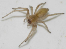 Preppers will - Yellow Sac Spider
