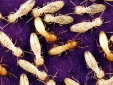 Prepper's Will - Edible Insects_Formosan termites