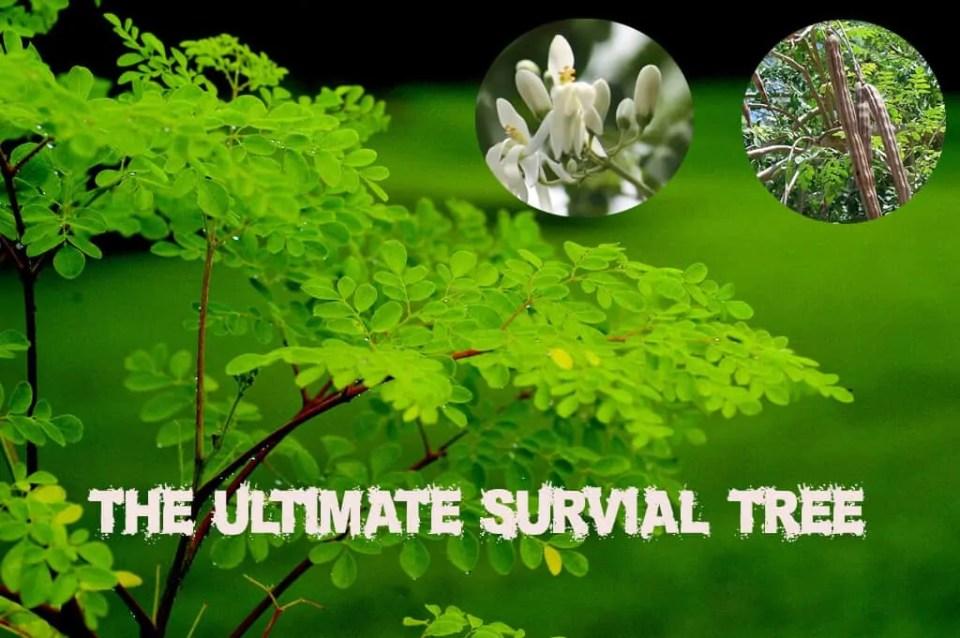 Prepper's Will - Moringa Oleifera the Ultimate Survival Tree