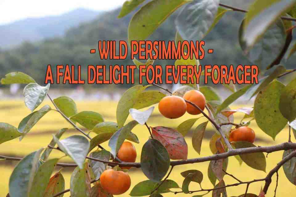 Wild Persimmons - A fall delight for every forager